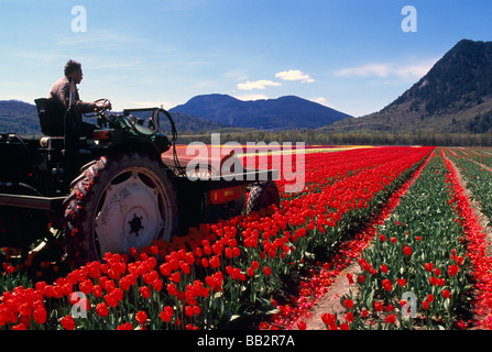 Farmer cutting Tulips in Field for Bulb Growth at Tulip Bulb Farm in the Fraser Valley of Southwestern British Columbia - Stock Photo