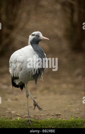 Demoiselle Crane - Stock Photo