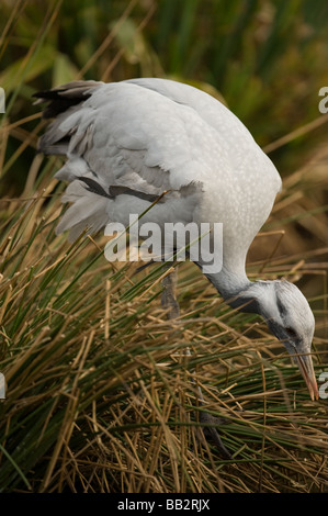 Demoiselle Crane Anthropoides virgo - Stock Photo