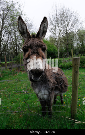 Portrait close up of a donkey donkey's head face looking at the camera watching watch curious nosey nosy - Stock Photo