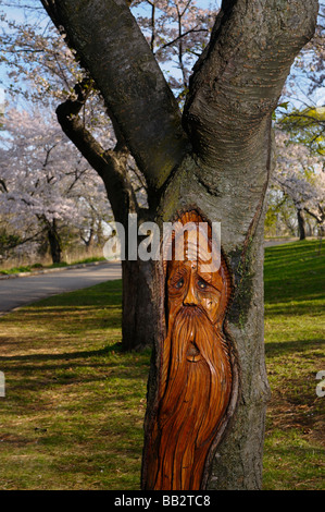 Carving of a Woodspirit in the trunk of a Cherry tree in full bloom in High Park Toronto - Stock Photo