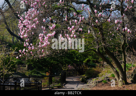 Pink blooms of a Saucer Magnolia soulangiana tree along a path in High Park Toronto in Spring - Stock Photo