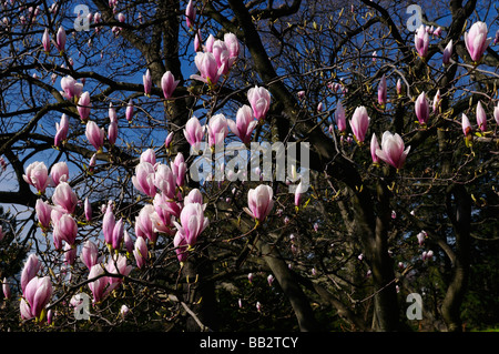 Cluster of flowers on a Saucer Magnolia soulangiana tree against a blue sky in High Park Toronto in early Spring - Stock Photo