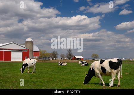 Herd of Holstein dairy cows in a farm pasture with a large red barn Vaughan Ontario - Stock Photo
