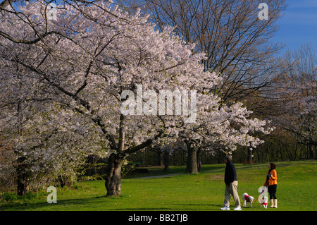 Springtime dog walkers admiring a Cherry Tree in full bloom in High Park Toronto - Stock Photo