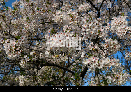 Japnaese Cherry Tree branches full of blossoms in spring against a blue sky Prunus serrulata Sakura Somei-Yoshino - Stock Photo