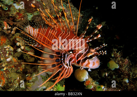 Indonesia, Sulawesi. Close up of spotfin lionfish, or pterois antennata. - Stock Photo