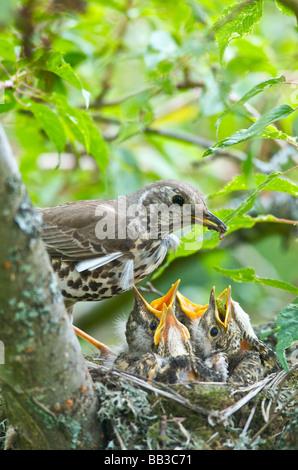 A Thrush Turdus ericetorum feeding four fledgling baby chicks in her nest in a cherry tree in Sussex
