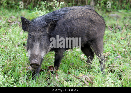 Indian Wild Boar Sus scrofa cristatus Standing In Grass at Indira Ghandi NP, Topslip, India - Stock Photo