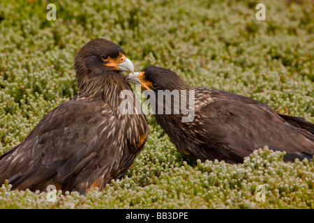 South Atlantic, Falkland Islands, West Point Island. Striated caracara preening mate. - Stock Photo