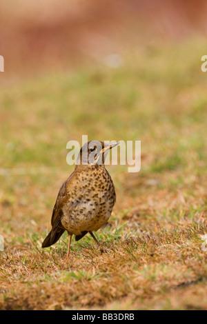 South Atlantic, Falkland Islands, West Point Island. Juvenile Falkland thrush in field. - Stock Photo