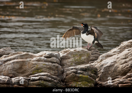 South Atlantic, Falkland Islands, West Point Island. Rock cormorant stands on rocks air drying its feathers. - Stock Photo