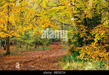Path through autumn beech woods in Gloucestershire England UK - Stock Photo