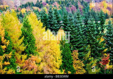 Autumn colours in a conifer forest in England UK - Stock Photo