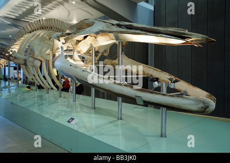 Skeleton of Pygmy Blue Whale BALEAENOPTERA MUSCULUS BREVICANDA Melbourne Museum Australia - Stock Photo