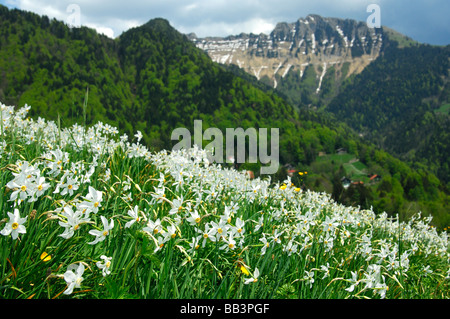 Mountain meadow with blossoming Narcissus, Montreux Daffodils, Narcissus poeticus, near Montreux, Vaud, Switzerland - Stock Photo
