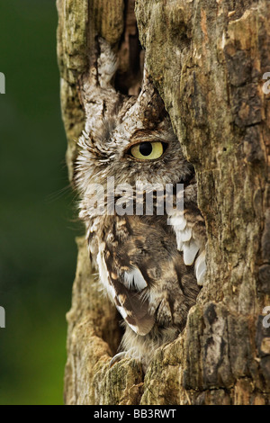 Eastern Screech Owl (Gray Phase) Otus asio, Michigan - Stock Photo