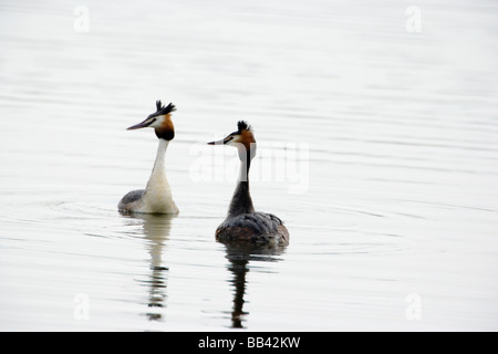 Pair of Great Crested Grebe Podiceps cristatus performing courtship display - Stock Photo