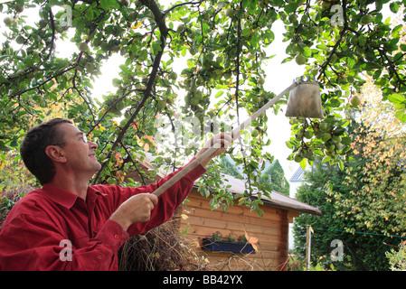Man harvesting apples - Stock Photo