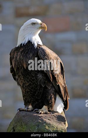 Bald eagle (Haliaeetus leucocephalus), backlight - Stock Photo