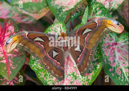 Sammamish, Washington captive raise largest of moths the Atlas Moth, Attacus atlas - Stock Photo