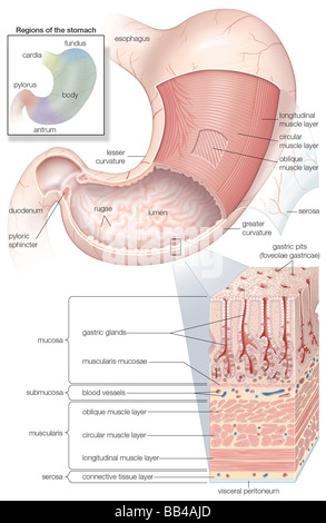 Diagram of the human abdominal cavity showing the digestive organs diagram showing the mucosa and musculature of the human stomach plus insets of histology and regions ccuart Images