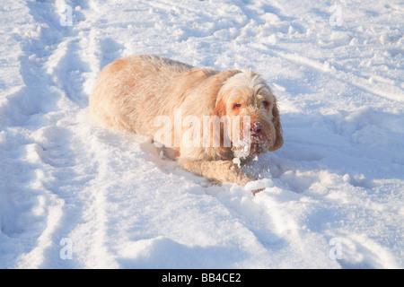 Italian Spinone Dog in snow - Stock Photo