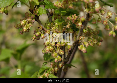 Black currants Ribes nigrum flowers with young fruit at fruit set - Stock Photo