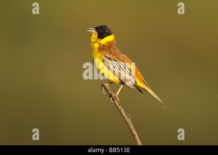 Male Black-headed Bunting (Emberiza melanocephala) singing from dead branch, Lesvos, Greece - Stock Photo