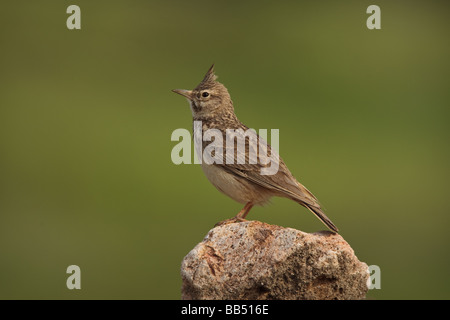 Crested Lark (Galerida cristata) perched on a rock, Lesvos Greece - Stock Photo