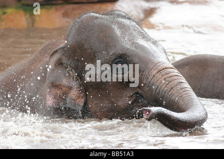Asian Elephant youngster playing in water - Stock Photo