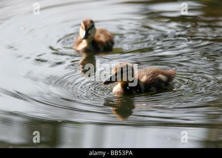 Pair of cute Mallard ducklings, UK - Stock Photo
