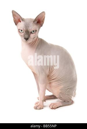 Sphynx Cat Sitting Studio - Stock Photo