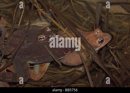 Wood Frogs - males (Rana sylvatica)  (Lithobates sylvaticus) Attempting to mate with a single female - New York - Stock Photo