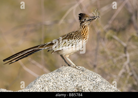 Greater Roadrunner - Stock Photo