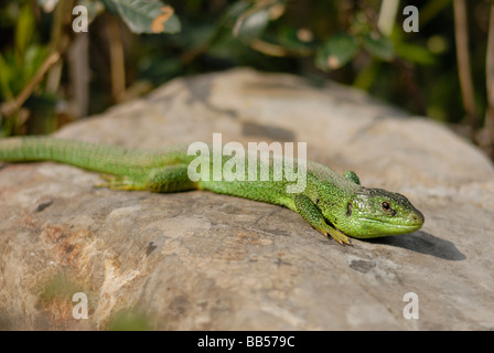 European green lizard Lacerta viridis, Lacertidae, Luni sul Mignone, Tolfa Mountains, Viterbo, Lazio, Italy - Stock Photo