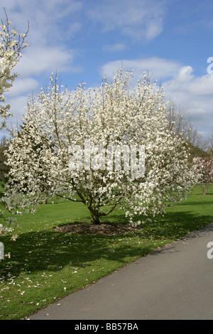 White Magnolia Tree, Magnoliaceae - Stock Photo