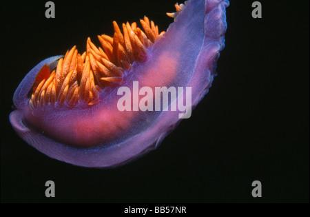 Nudibranch (Flabellina iodinea) - Stock Photo