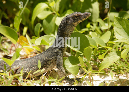 Monitor lizard at the beach on Pulau Mamutik Island in Tunku Abdul Rahman National Park near Kota Kinabalu Sabah - Stock Photo