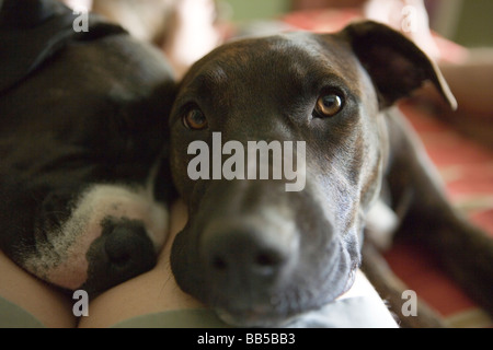 two dogs laying on a person's leg, resting on bed, looking at camera - Stock Photo