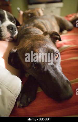 close up of dogs sleeping on a bed looking sad - Stock Photo