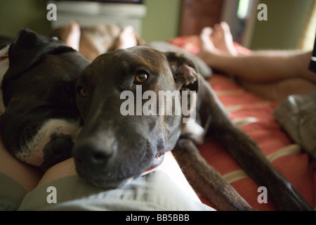 close up of two dogs resting on a person's leg, laying on bed in bedroom, eye contact with camera - Stock Photo