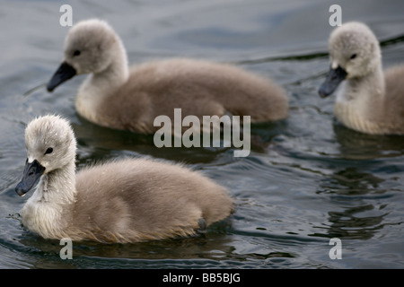 Mute Swan cygnets (Cygnus olor) swimming on a lake covered with drops of water - Stock Photo