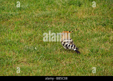 Wiedehopf Hoopoe 01 - Stock Photo