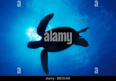 Silhouette of a Green Sea Turtle - Ohau, Hawaii. - Stock Photo