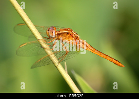 Male Scarlet Dragonfly Crocothemis erythraea Resting On Stem In Antananarivo, Madagascar - Stock Photo