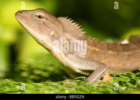 Close-up Of Head Of Oriental Garden Lizard Calotes versicolor Taken in Assam State, India - Stock Photo