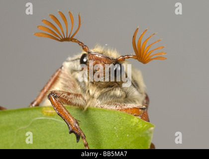 Head and antennae of an adult cockchafer Melolontha melolontha or may bug on a leaf