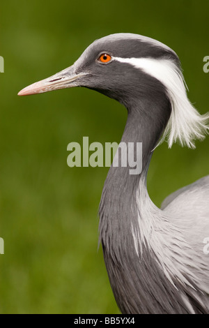 Demoiselle Crane, Anthropoides virgo - Stock Photo