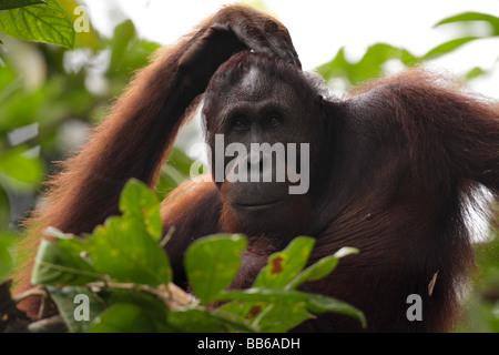 Portrait of an Orang utan Kabili Sepilok Rainforest Reserve Borneo